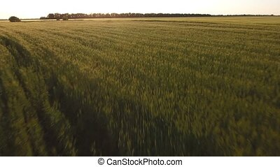 Aerial survey of a wheat field at sunset