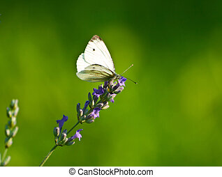 the Cabbage butterfly - white butterfly on lavender