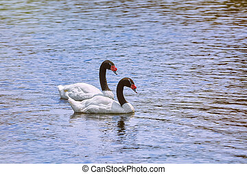 Pair of Black-necked Swans in the Lake