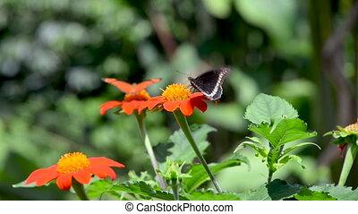 Zinnia Elegans Flowers and Butterflies - View of butterflies...
