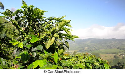 Coffee Plant and Landscape - View of a coffee plant with a...