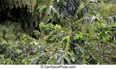 Coffee Plant Covered in Fruit - Coffee plant near Manizales,...