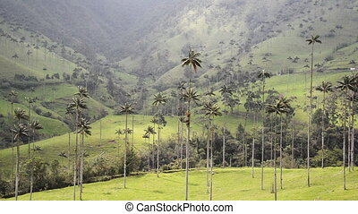 Beautiful Cocora Valley View - Beautiful view of wax palm...