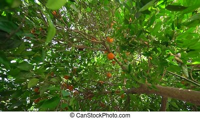Ripe fresh tangerines on brunch in park on Cyprus - Ripe...