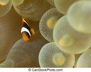 Juvenile clownfish - Baby Clownfish in anemone