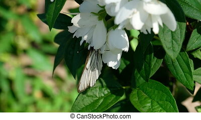 Black Veined White butterfly on Jasmine - Aporia crataegi,...
