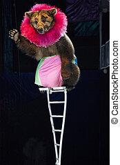 Brown bear at the circus