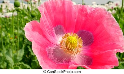 Close view into pink poppy hybrid. Detailed red pink poppy...