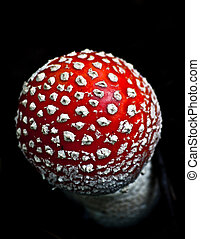 the fly agaric (Amanita muscaria) - Fly Agaric (Death- Cap)...