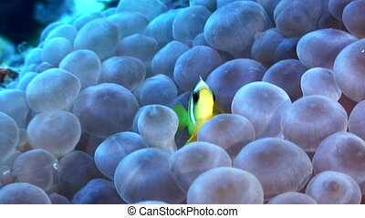 Clown fish - A single clown fish is in hiding in an anemone