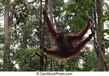 Great Ape hang between branches of tree in the forest....