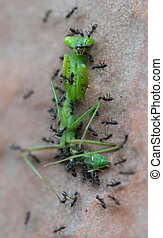 Ants attack and eat green grasshopper - Top view closeup of...