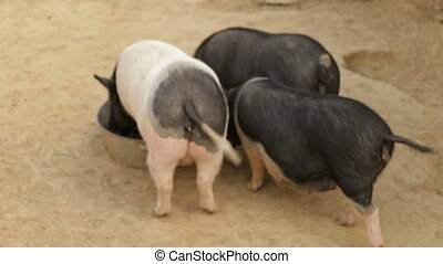 Vietnamese pigs eat from the trough, rear view - Three young...
