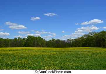 Yellow canola field blooming in Spring with blue skies and white clouds