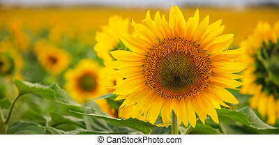 Blooming sunflower close up - Blooming sunflowers field on...