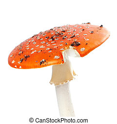 Red fly agaric mushroom isolated on white background.