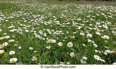 Glade of medicinal chamomile and other field plants in...