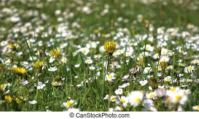 Closeups of daisies bloom on field on sunny summer day,...