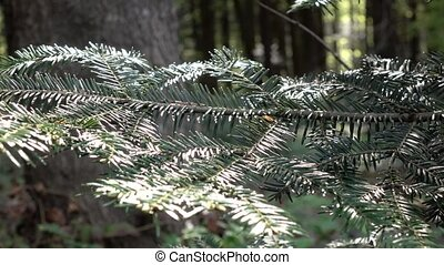Branch of sequoia closeups on background of lush green forest