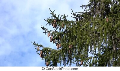 Branches of green perennial fir tree with lot of cones,...
