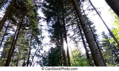 Mighty green spruce and pine trees in sunny light rays,...