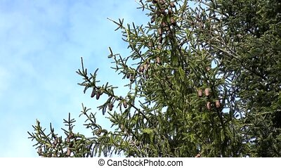 Branches of perennial fir tree with cones against the sky,...