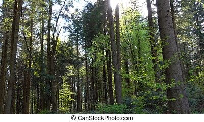 Spring sunny day in coniferous dense forest of pine trees,...