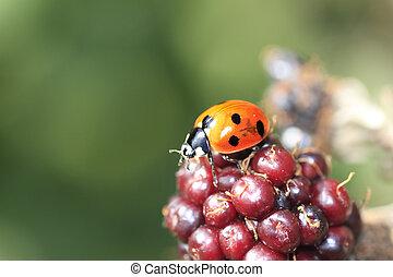 Single wild ladybird on a blackberry bush in the autumn...