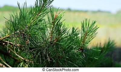 Branch of a pine tree