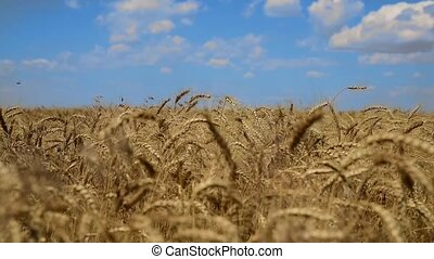 Wheat field with ripe ears of wheat