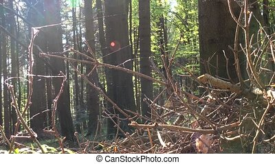 Spiderweb develops in the wind on dry branches of spruce,...