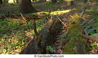 Nature of the wild forest, fallen trees grow with moss