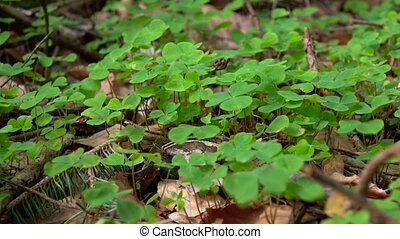 Spring young green clover stirs from the whiff of wind -...