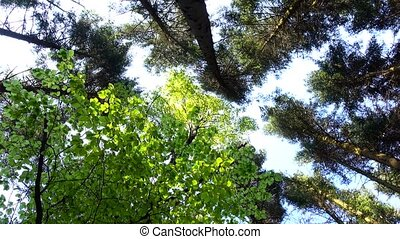 Tops of trees sway from wind on background blue sky