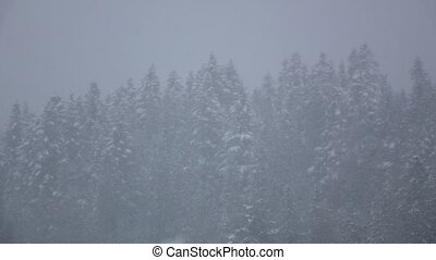 Blizzard in winter forest with snowy pines in slow motion,...