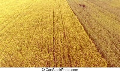 Flying over wheat field with sunlight. - Aerial View. Flying...