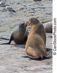 Two Sea Lions Greet Each Other on rock near pacific ocean