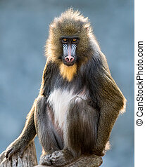 Mandrill XVI - Frontal Portrait of a Mandrill Against a...