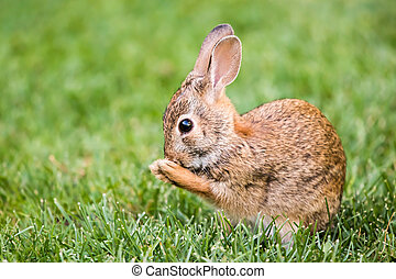 New England Cottontail - Profile Portrait of New England...