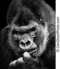 gorila, Occidental, tierra baja,  X
