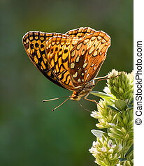 Aphrodite Fritillary V - Profile Portrait of a Perching...