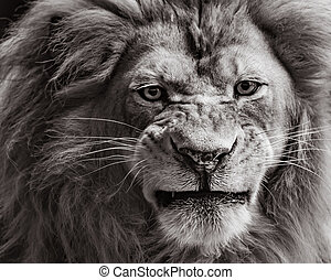 African Lion - Frontal Portrait of an African Lion in Black...