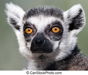 Ring-Tailed Lemur - Frontal Portrait of Ring-Tailed Lemur