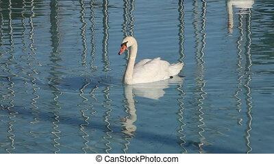 Swan - swan in a lake