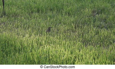 Bird walking in green grass outdoor - Bird walking in green...