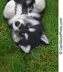 Alusky Puppy Laying on His Back for a Belly Rub