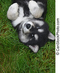 Playful Alusky Puppy Laying on his Back in Grass