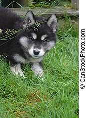 Crouching Alusky Puppy Ready to Pounce While Playing -...