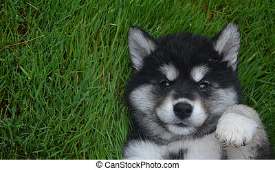 Really Sweet Up Close Face of an Alusky Puppy on His Back -...