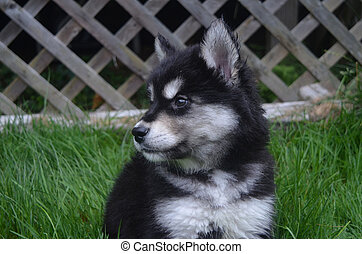 Somewhat Sad Face of a Black and White Husky Pup - Sweet sad...